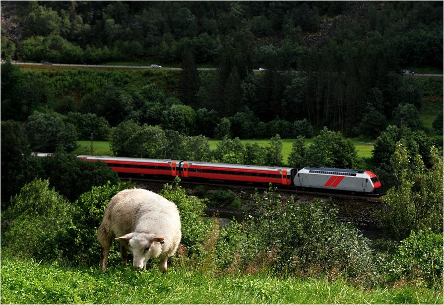 Bølstadoyri. Owca pomyka do Bergen, a na pierwszym planie pasie się pociąg regionalny.