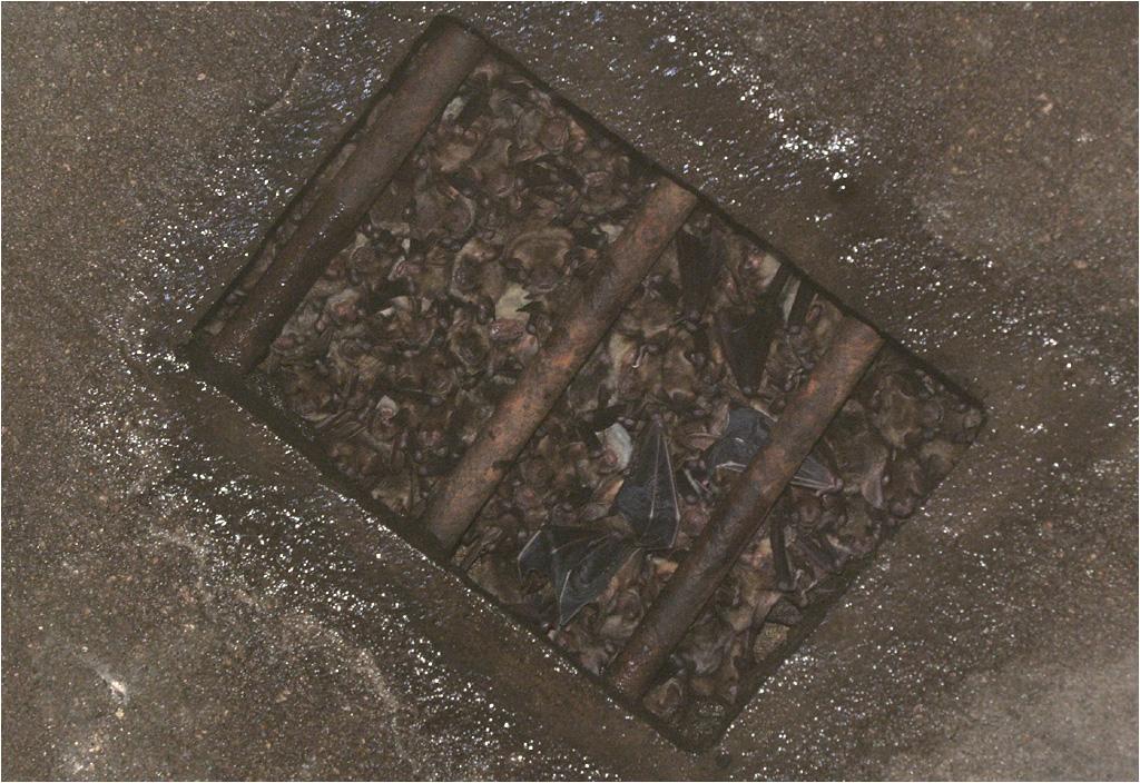 Kiść nietoperzy zwisająca pod sufitem. Zdjęcie bardzo niewyraźne ze względu na olbrzymie zamglenie, ale warto się przyjrzeć...