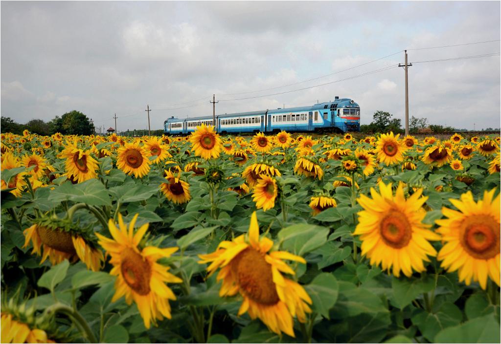 14.07.2015, Ukraina, okolice wsi Poligon. D1-717 jako pociąg osobowy relacji Mikołajów-Tymkowo przejeżdża przez pola słonecznika.