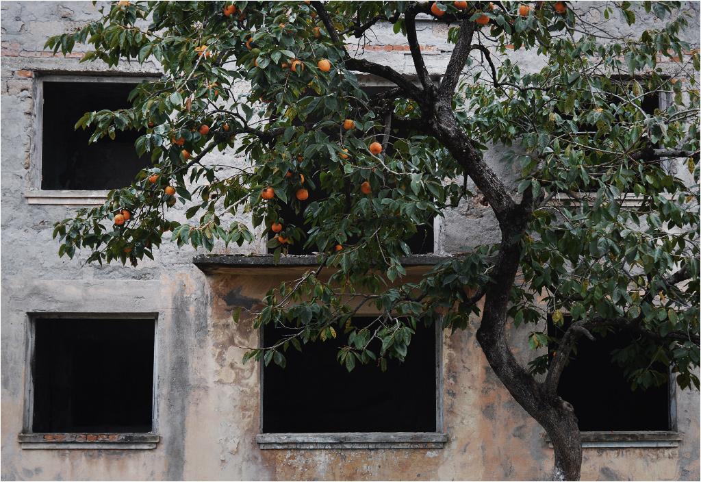 Owoce kaki rosną przy murze zrujnowanej szkoły w Oczamczirze