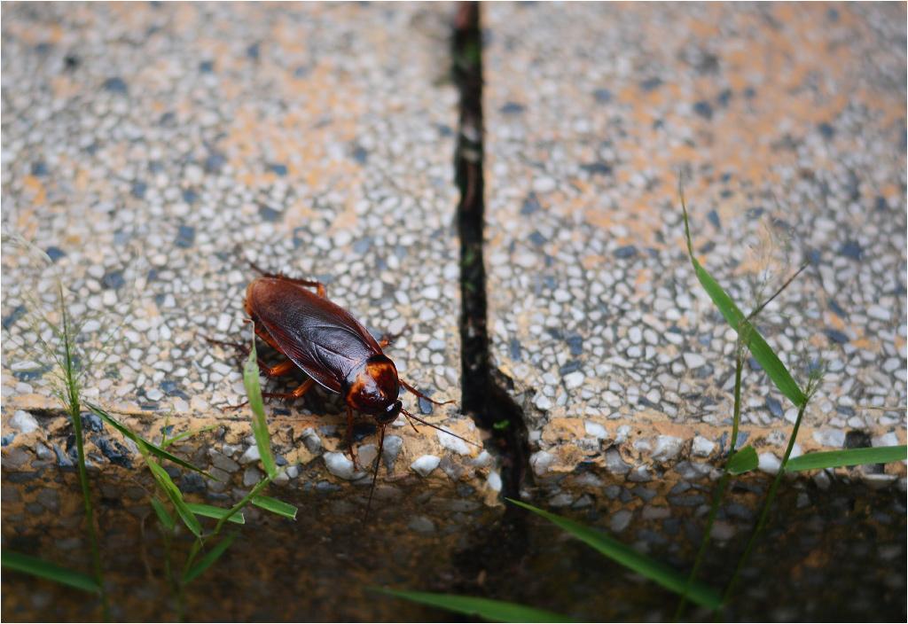 Samotny karaluch nie budzi przerażenia - co innego wielkie biegające kolonie...