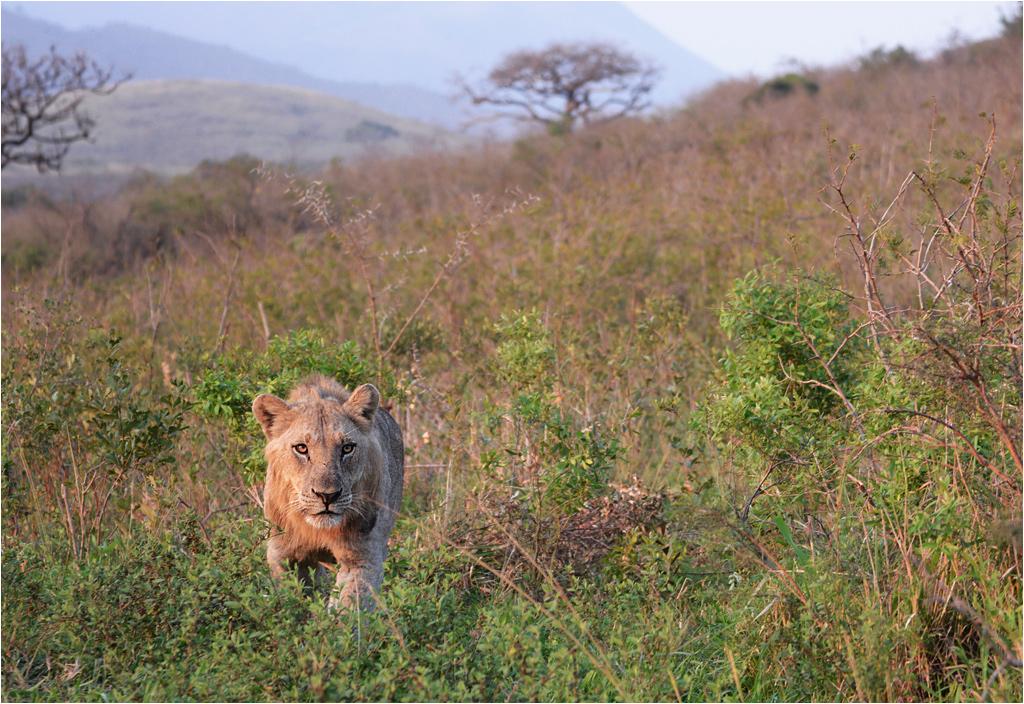 Lew skradający się bladym świtem przez sawannę to niezapomniany widok
