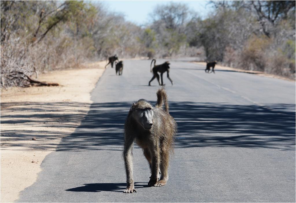 Zwierzęta mają zawsze pierwszeństwo na drogach. Tu desant pająkoształtnych map na jeden z głównych traktów parku Krugera