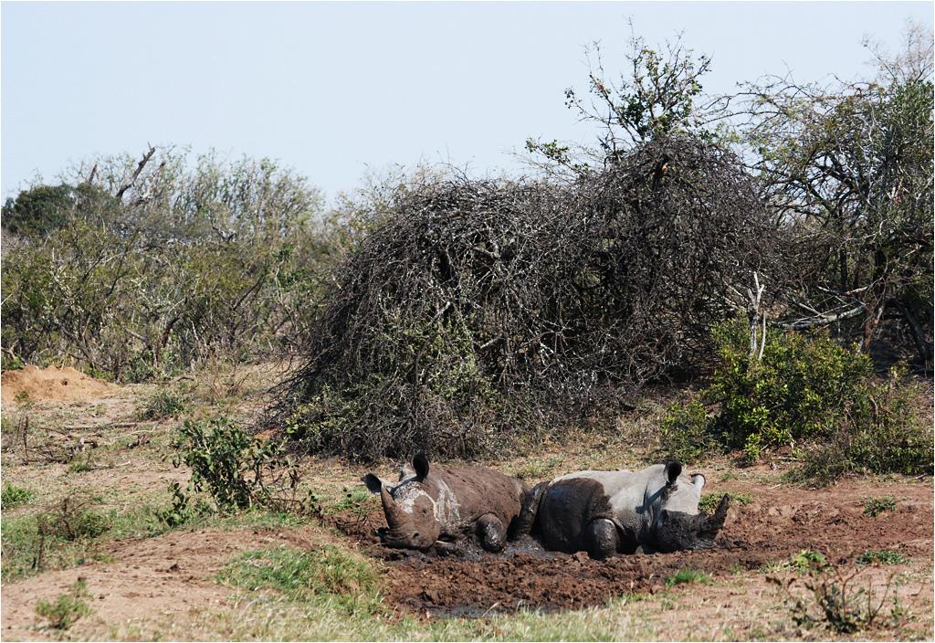 A także nosorożec - tutaj para uroczych nosorożców odpoczywa w resztkach wysychającego błota