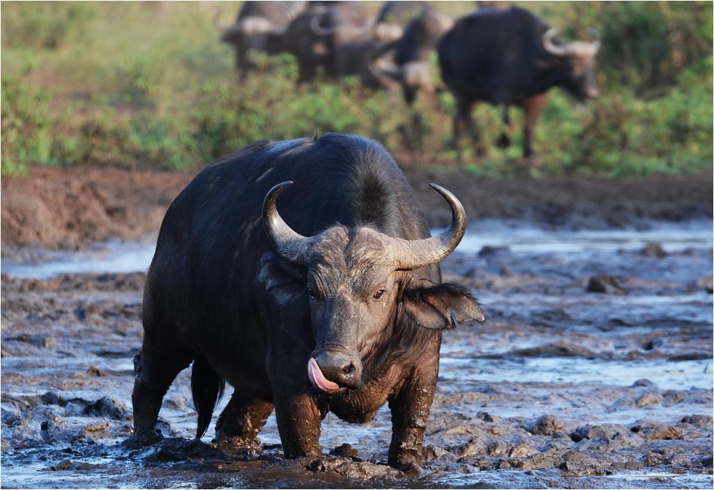 Bawół afrykański to jedno ze zwierząt wchodzących w skład <em>wielkiej piątki</em>