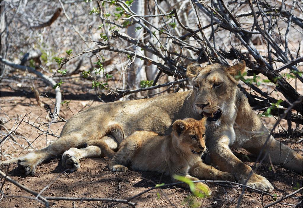 W <em>wielkiej piątce</em> jest też lew, choć nie każdy lew od razu staje się wielki