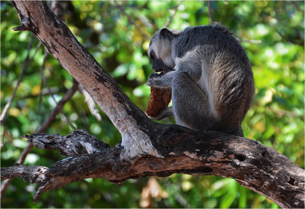 Na postojach trzeba zwracać baczną uwagę na małpy-złodziejki. Wystarczy chwila nieuwagi i już jedzenie (albo co gorsza kluczyki od samochodu) biegną wraz z małpą na wysokie drzewo. Na zdjęciu widoczne resztki ciastka imbirowego, które małpa wyrwała mi bezpośrednio z ręki