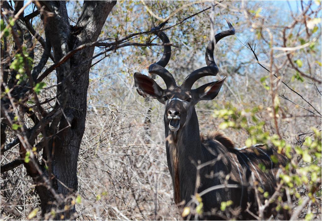 Jedną z antylop jest kudu, łatwo rozpoznawalne powielkich zakręconych rogach