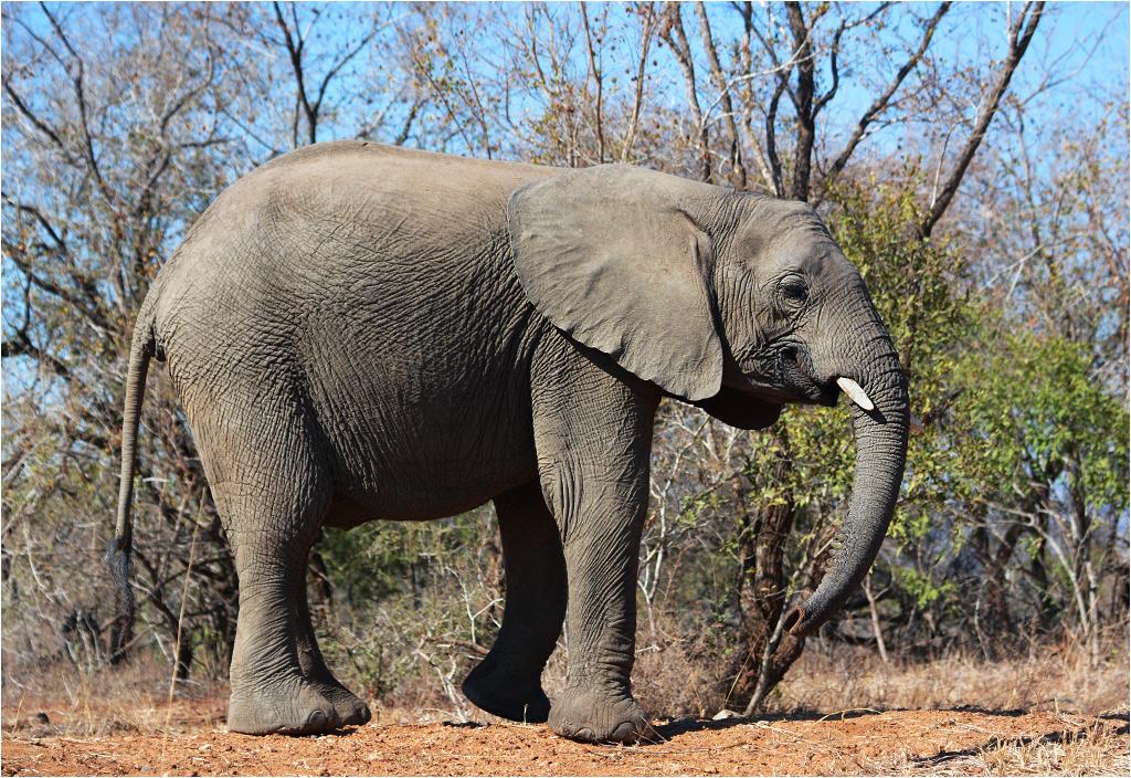 Kolejnym z nich jest - rzecz jasna - słoń