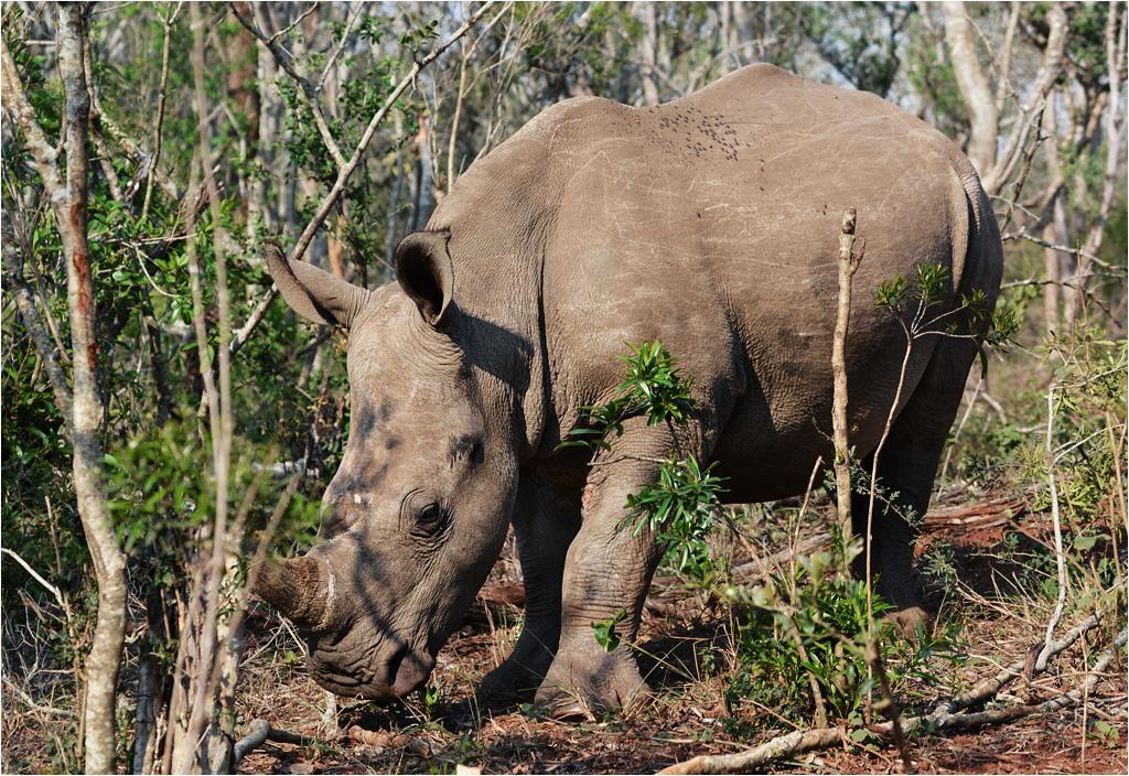 Nosorożec chowający się w krzakach