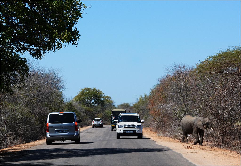 Słonie są dość powszechne, więc nie wytwarzają wielkich korków
