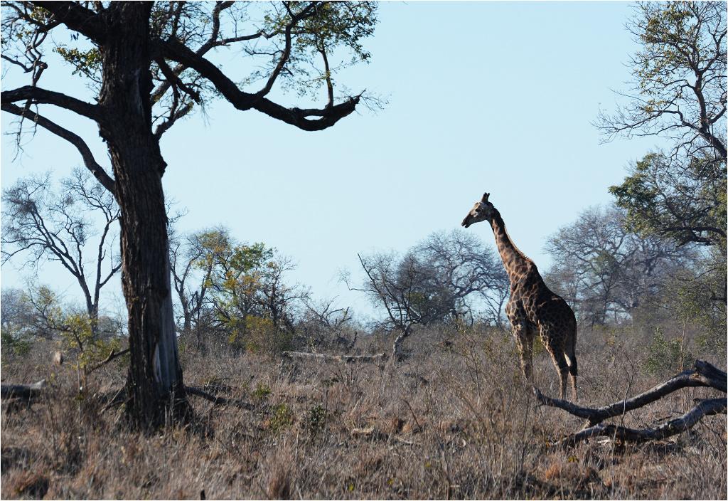 Żyrafa pośród wyschniętego środowiska wczesnej afrykańskiej wiosny
