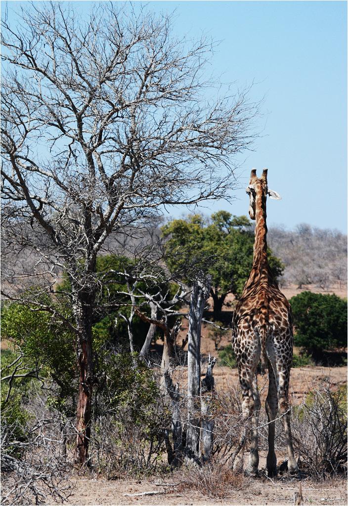 Żyrafa - mistrzyni kamuflażu