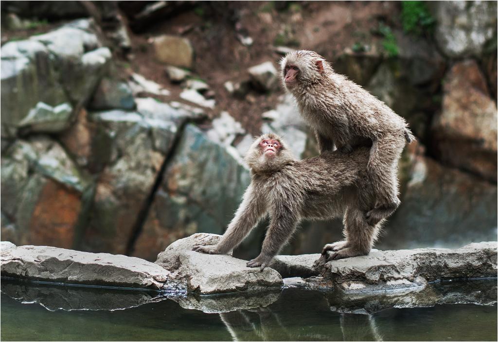Małpy skaczą niedościgle, małpy robią małpie figle. Właśnie - to są figle. Nie to, o czym pomyśleliście przed chwilą