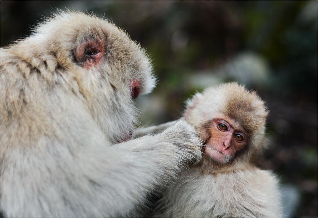 Duży makak czyści futro małego makaczka
