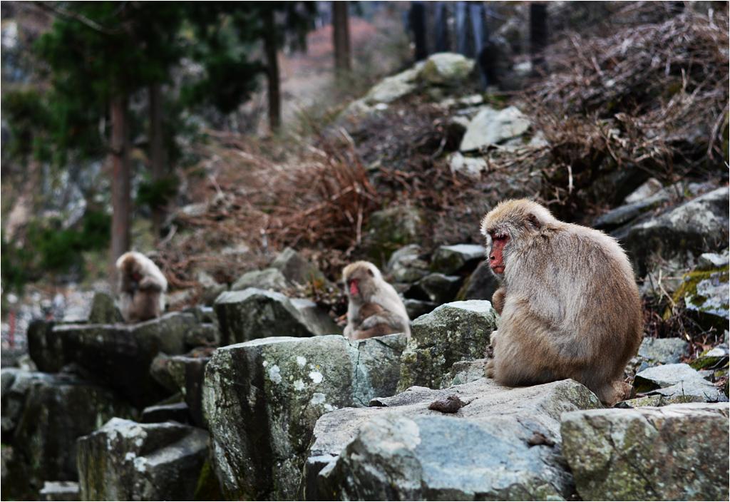A po kolacji dzieci idą spać. Tak wygląda zbiorowe macierzyństwo w parku Jigokudani