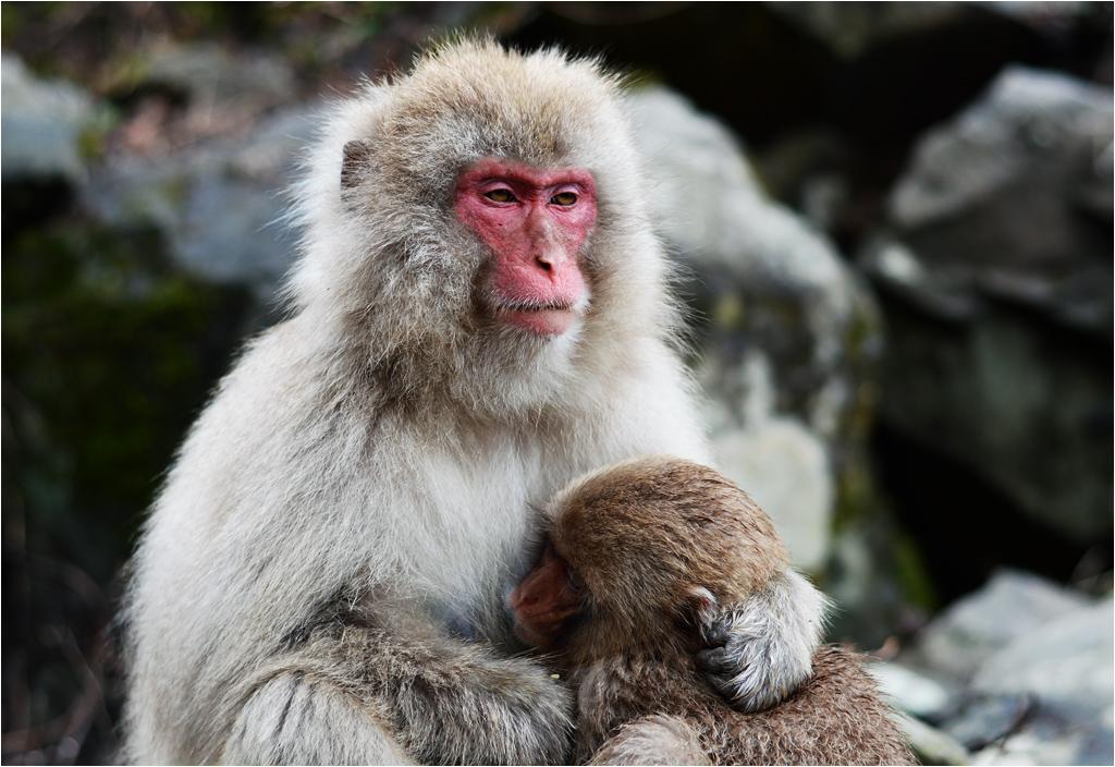 Pomimo poważnych twarzy, japońskie makaki są naprawdę przeuroczymi zwierzętami