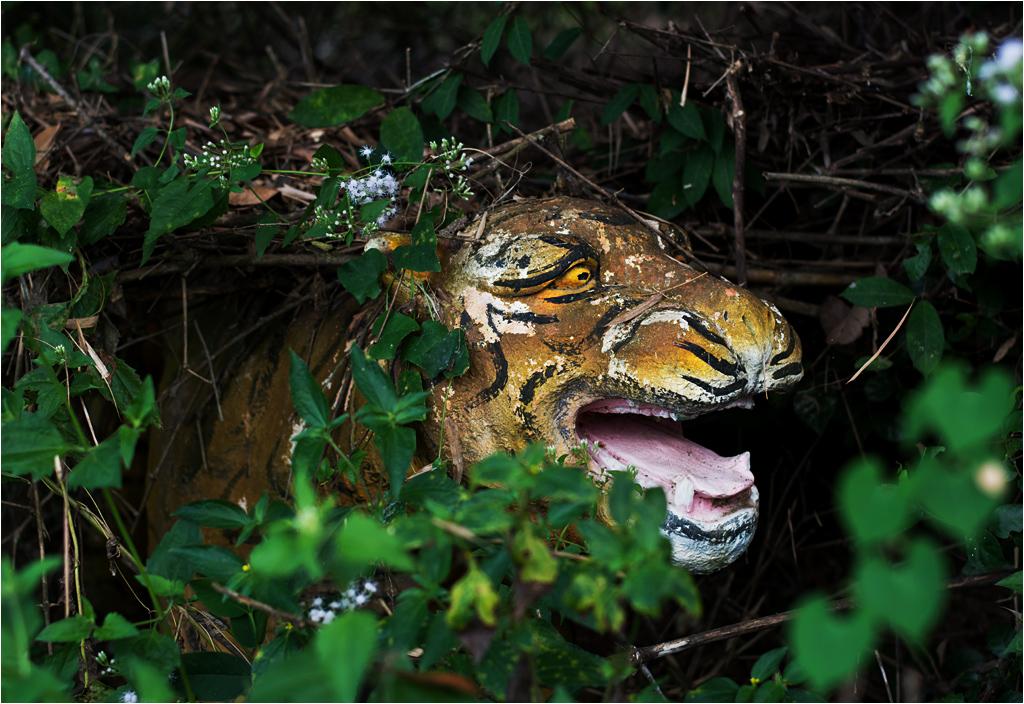 Tygrys się nie pasie. Tygrys poluje.