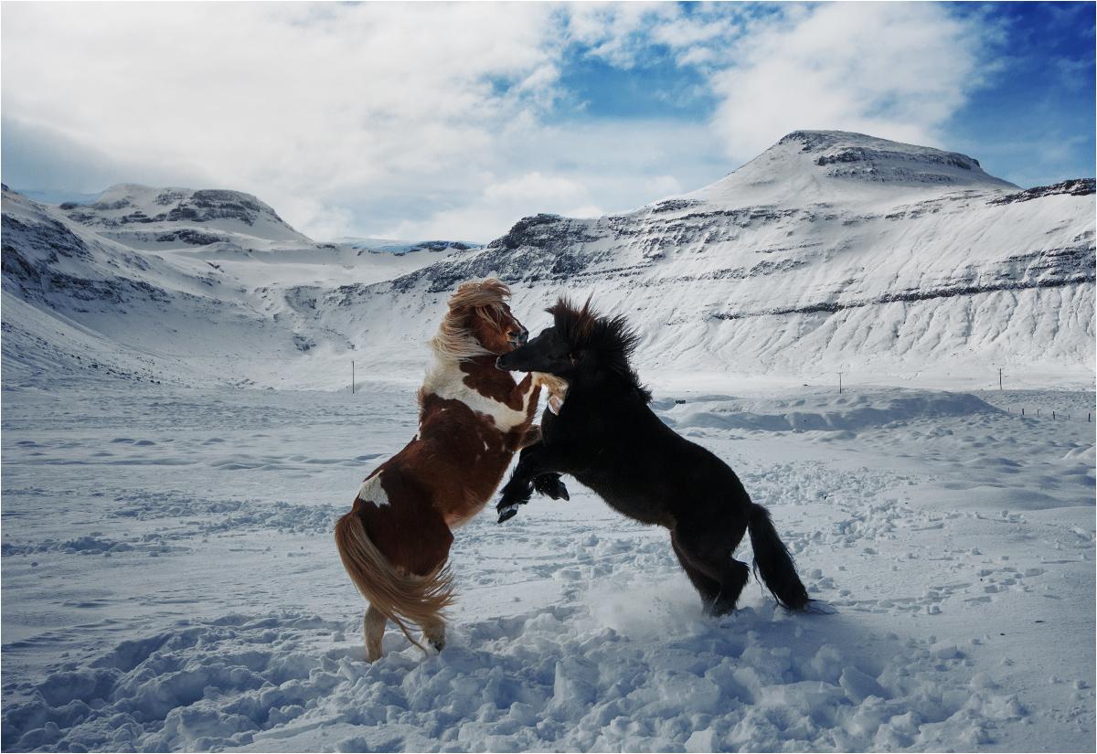 Jak w każdym korpo, czasem trzeba kopać się z koniem. Dwa ogiery stają w szranki w okolicach Grundarfjörður