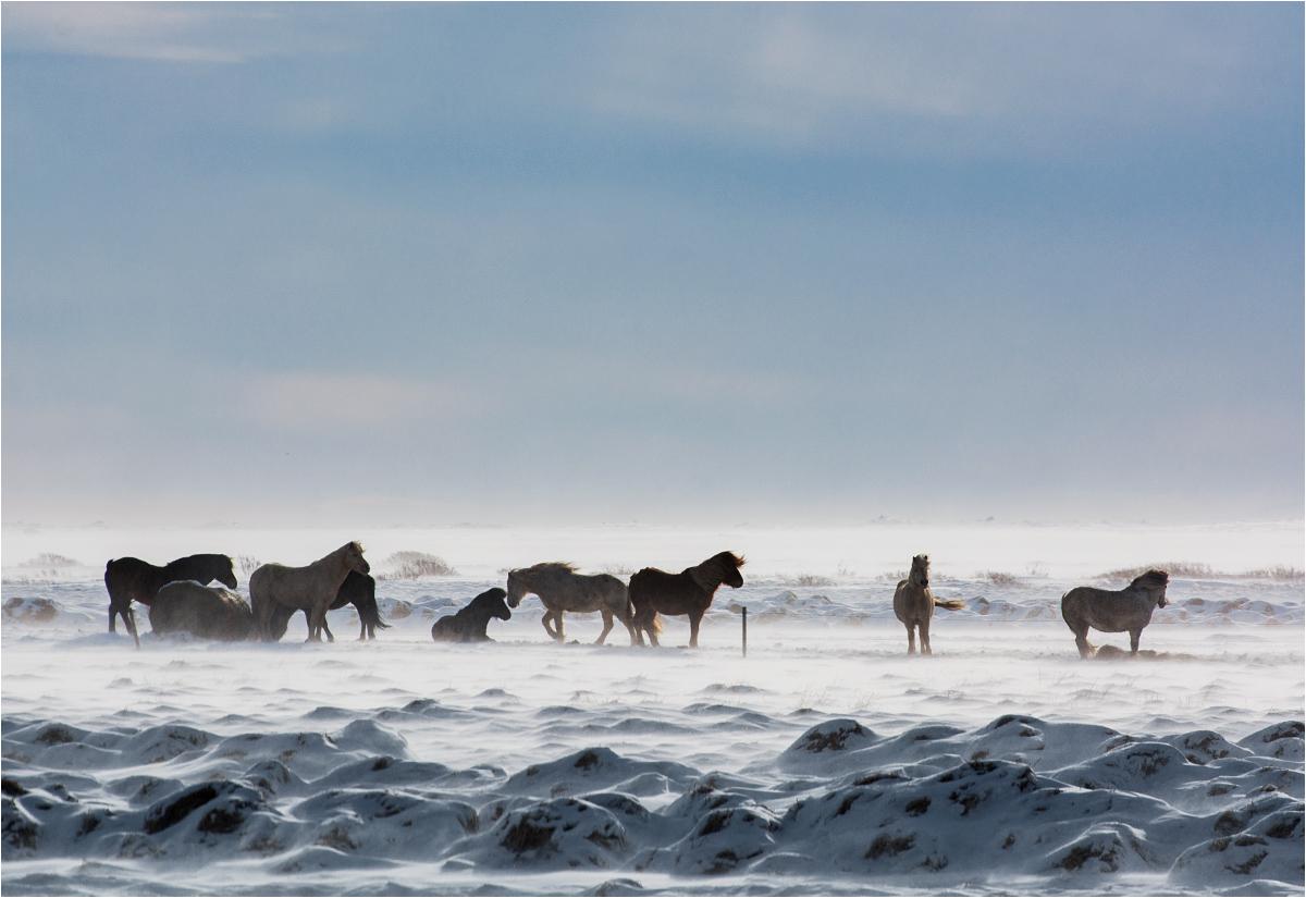 Stado koni wytrwale stoi pośrodku islandzkiej wichury