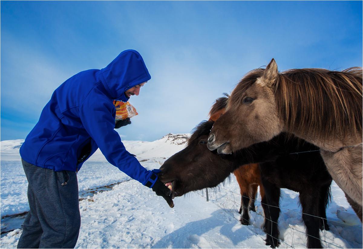Miłe islandzkie konie żywiołowo reagują na kontakt z ludźmi