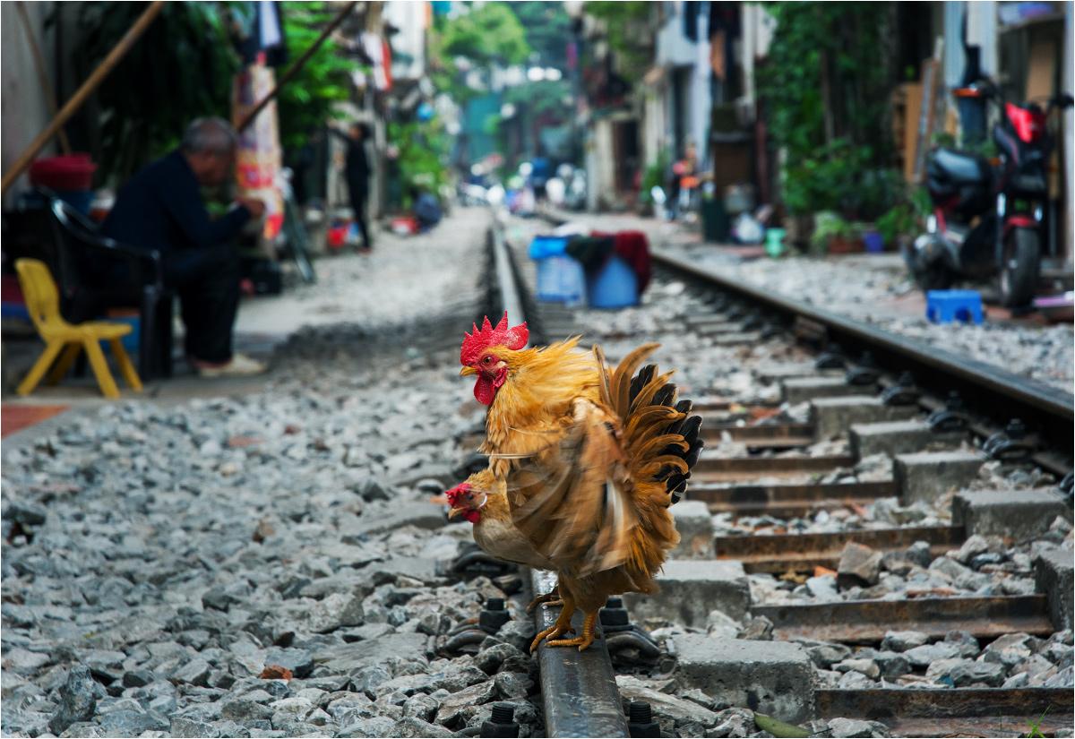 Ale nie tylko ludzie zamieszkują tory w centrum Hanoi