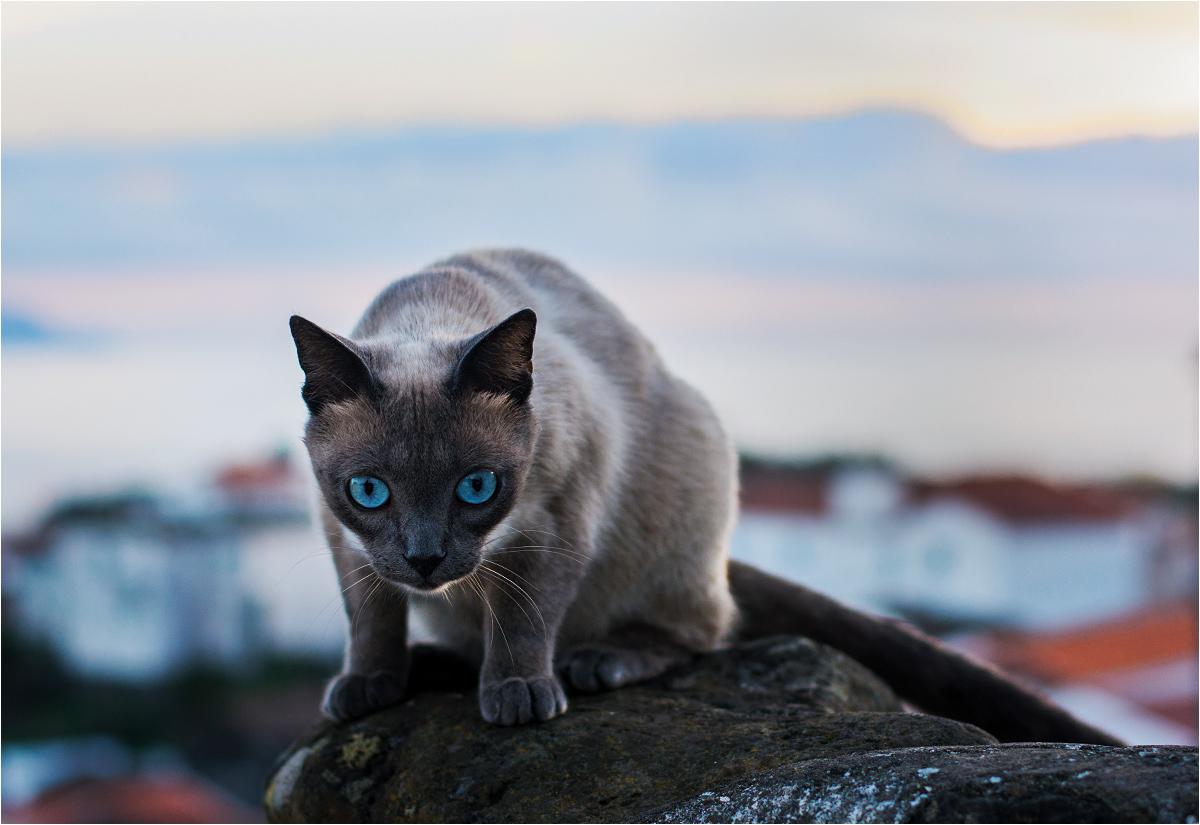 Skąd na Corvo koty syjamskie? Pewnie ktoś kiedyś przywiózł jednego, a w małym środowisku wysepki szybko doszło do rozprzestrzenienia genów...