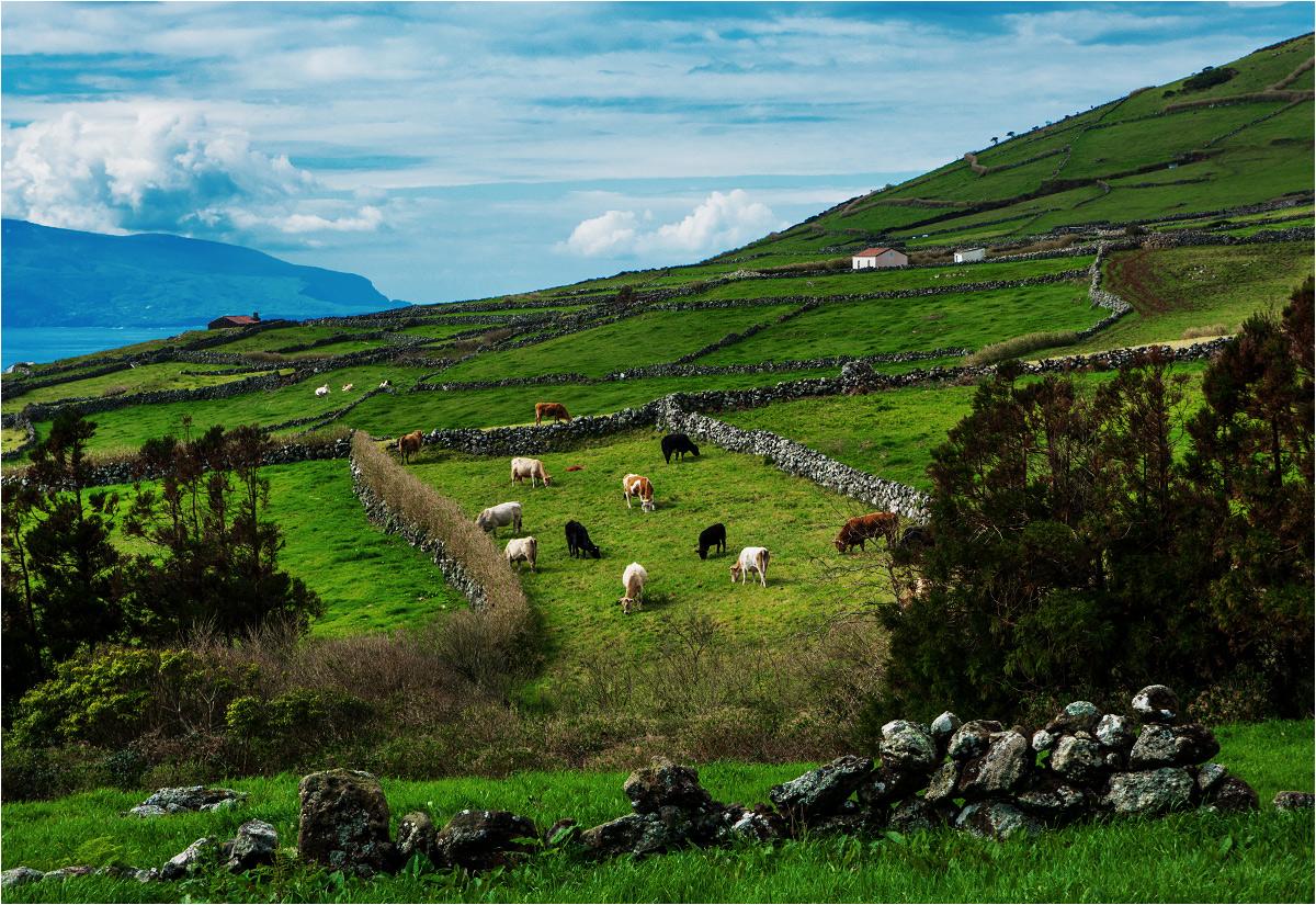 Aż dziwne, że jednym z symboli oddalonych wysp wulkanicznych są krowy