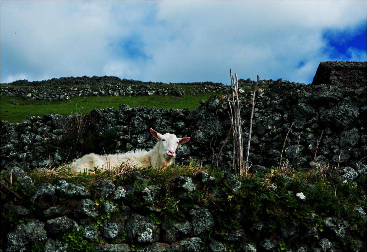 Sympatyczna koza pasie się w labiryncie kamiennych murków