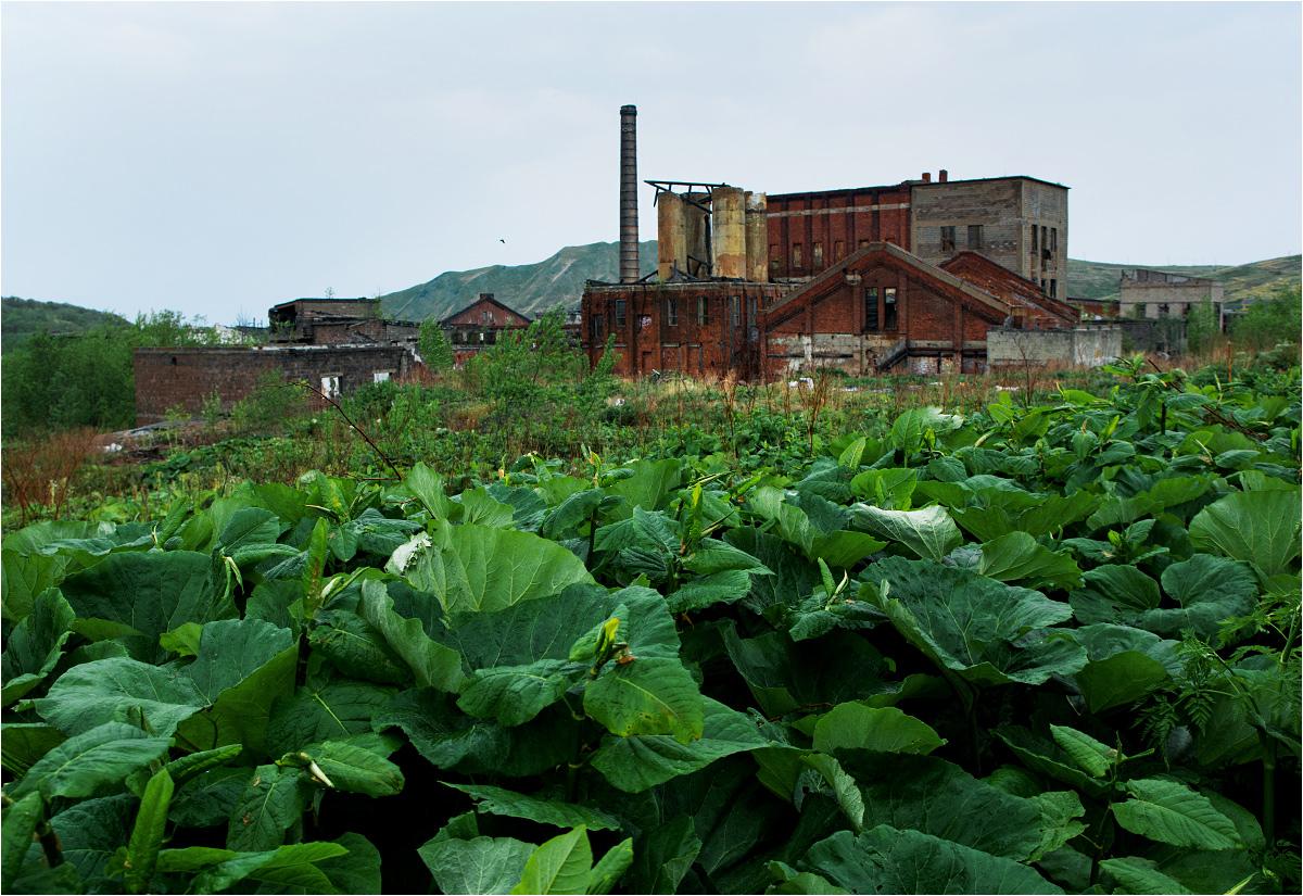 Fabryka papieru i celulozy w Czechowie od ponad 20 lat jest ruiną. Na pierwszym planie wielkie łopiany, jeden z botanicznych symboli Sachalinu
