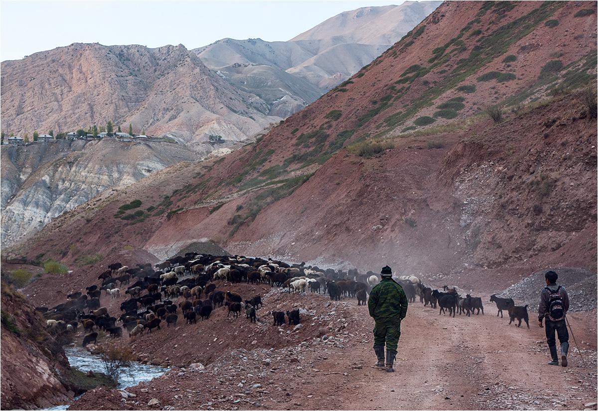 Stado owiec spędzanych z pastwiska na składowisku odpadów uranowych Tujuk-Suu (składowisko znajduje się około 150 metrów w drugą stronę od miejsca zrobienia zdjęcia)