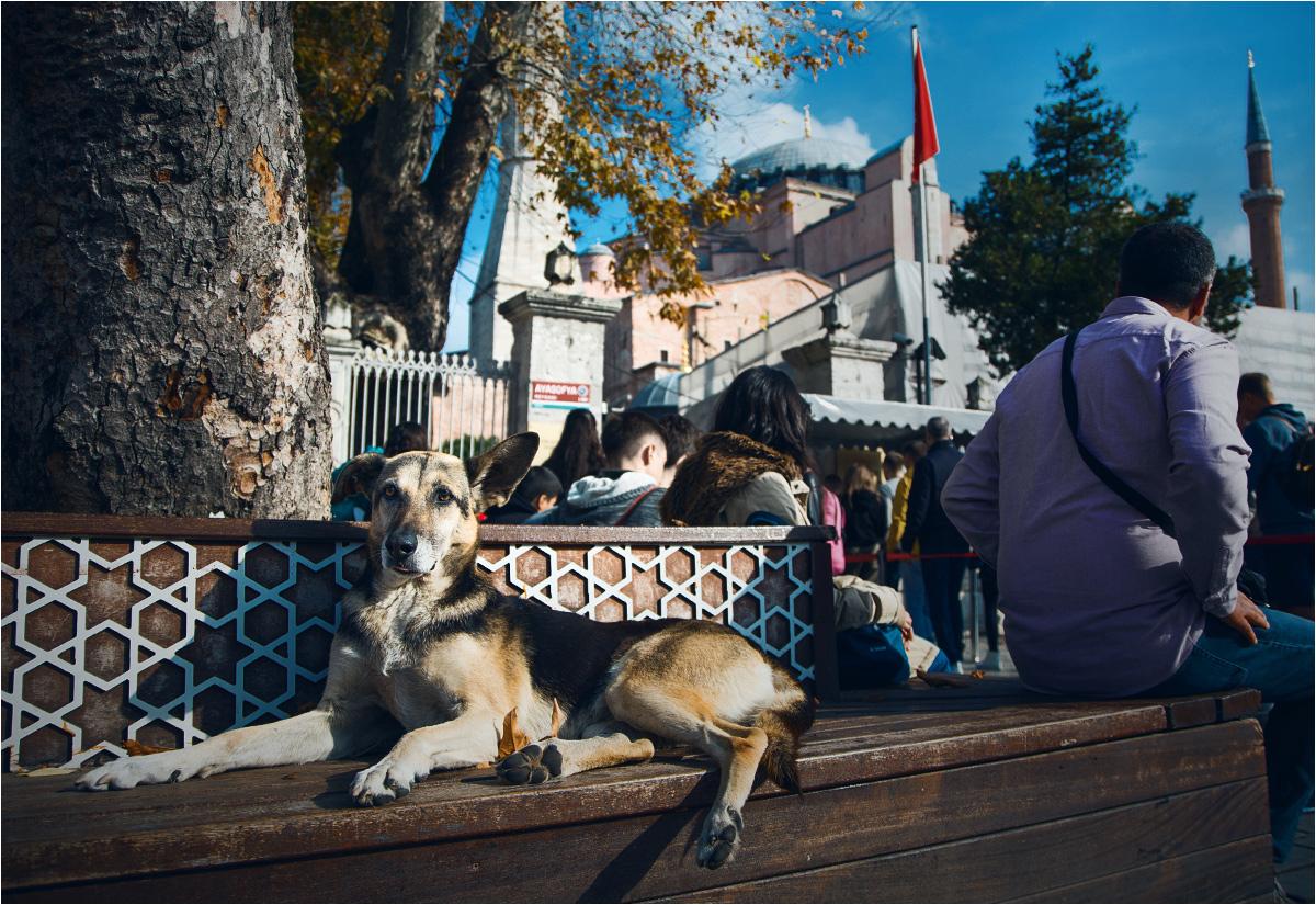 Pies wypoczywa na ławce pod najważniejszym zabytkiem Stambułu - słynną Hagą Sofią