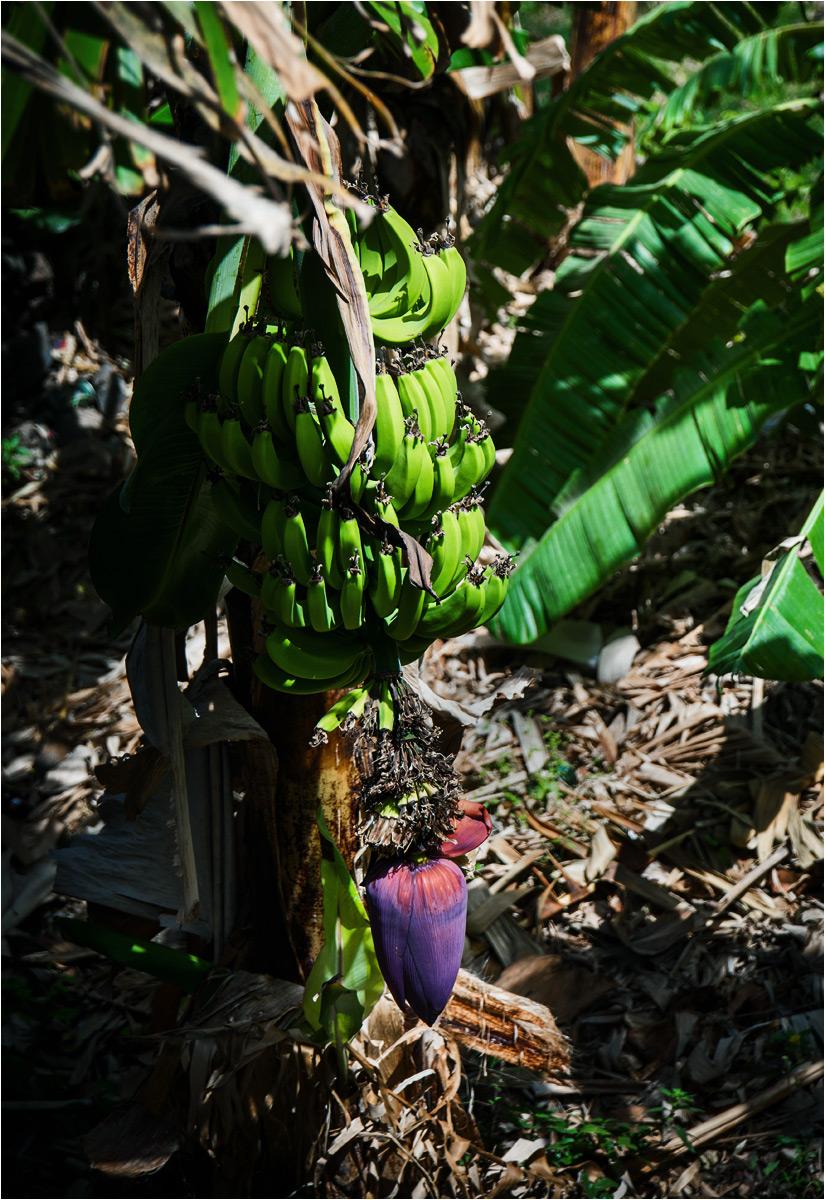 Banany rosnące na wyspie Santo Antão. Smażony banan to także częsty dodatek do obiadu
