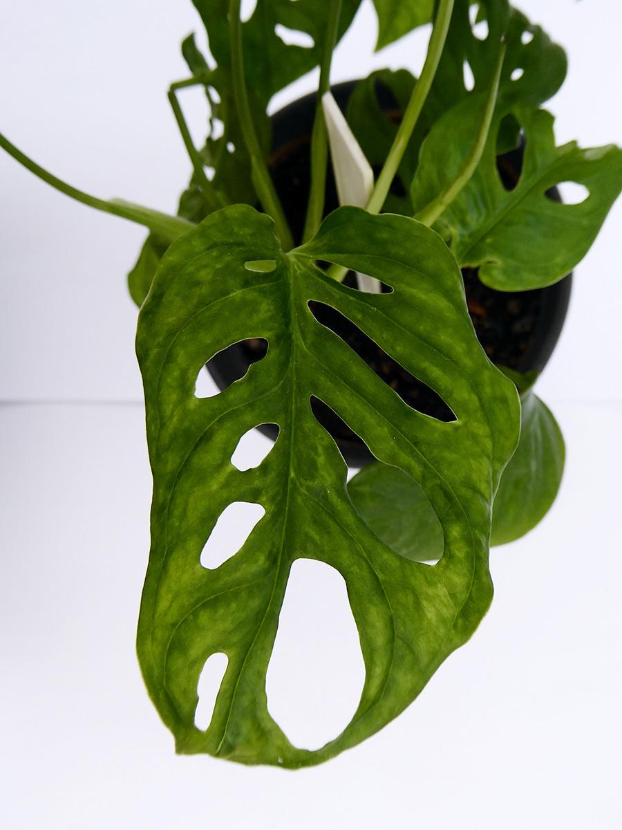 Liść monstery podejrzanej o zakażenie wirusem roślinnym. Moje zaniepokojenie wzbudziło nierównomierne wybarwienie liści, ich kształt oraz ogólna słaba kondycja rośliny