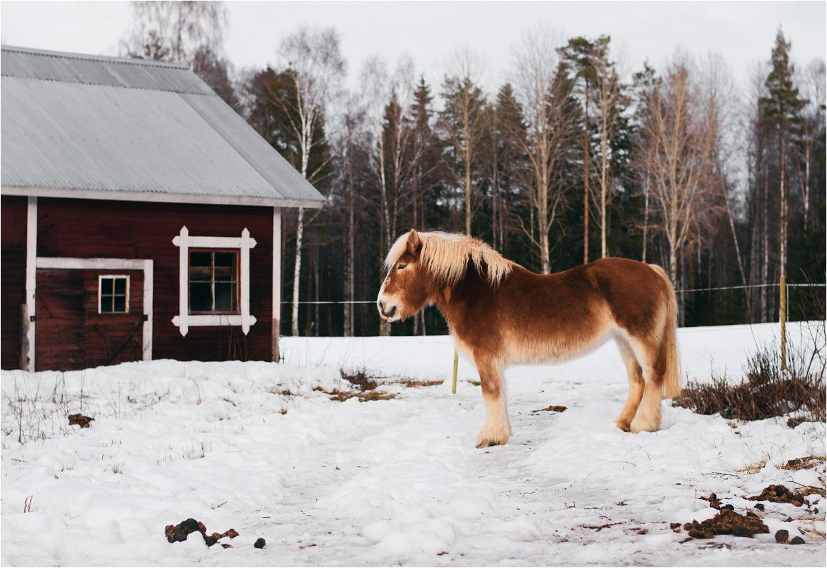 Prawdziwy - prawie czerwony - koń z Dalarny! Zimowy wypas w wiosce Mässbacken