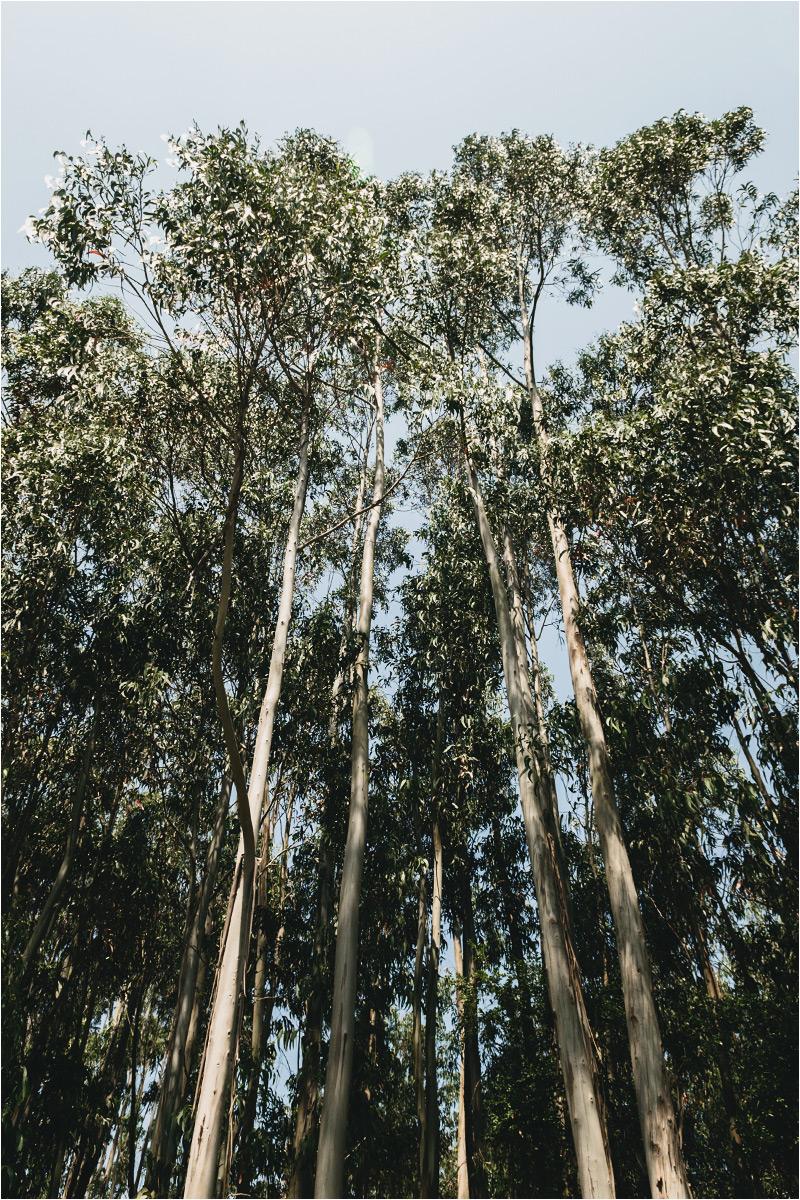 Las eukaliptusowy w środkowej Portugalii