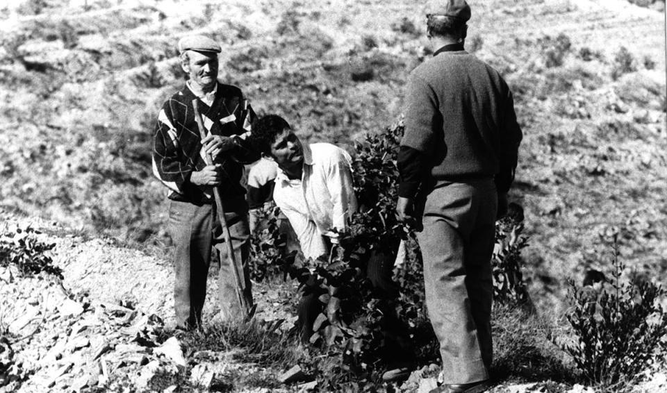 Portugalczyk wyrywający drzewko eukaliptusowe z korzeniami. Veiga do Lila, marzec 1989. Autor fotografii nieznany